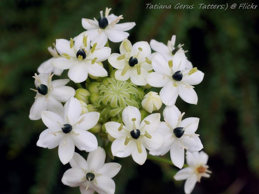 Black Pearl Lily (Orni...