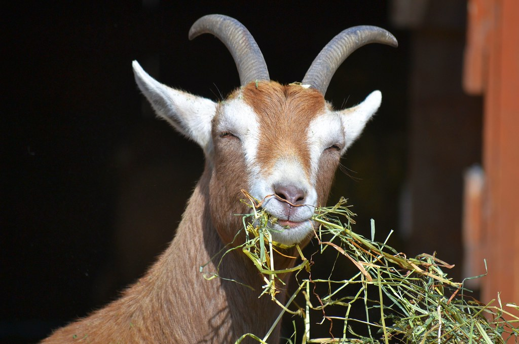 Goat Smile | So good of you to drop by at lunchtime ...