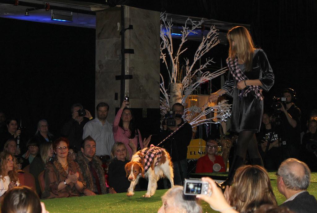National Dog Show Breed Judging Welsh Terrier