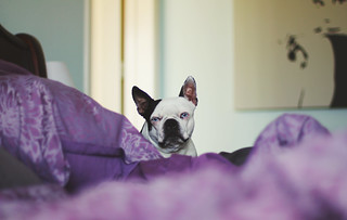My boston terrier soulmate | by alwaysgenevieve