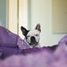 My boston terrier soulmate