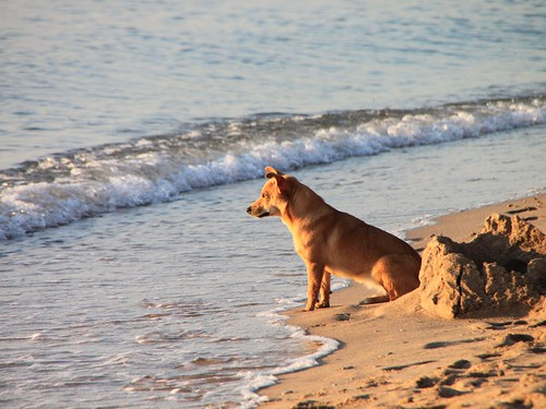 Dog-on-the-Beach-at-Sunrise__64858 | by Public Domain Photos