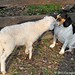 Lamb kissing Bert 4 - FarmgirlFare.com