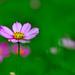 Cosmos 單戀一枝花