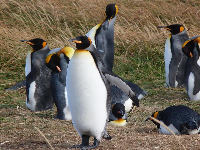 Pingüinos Rey en Bahía Inútil (Tierra del Fuego, Chile)