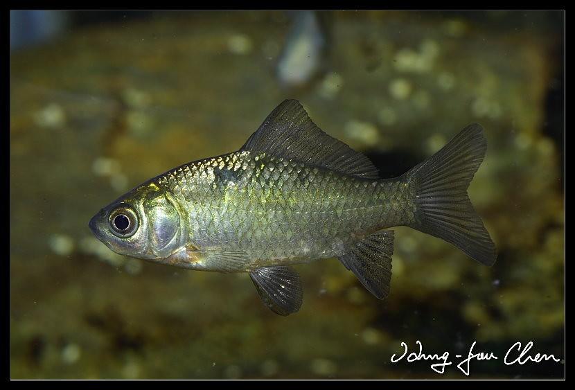 Карась дзи (Carassius auratus auratus), фото фотография аквариумные рыбы