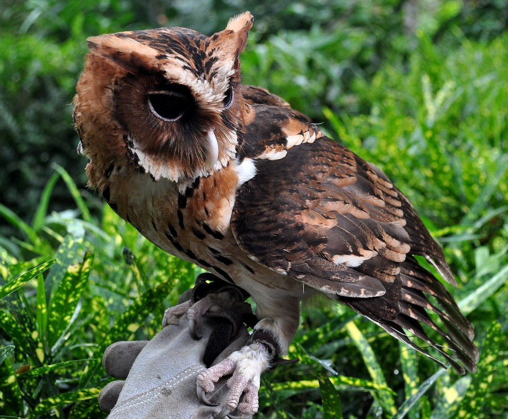 giant scops owl mimizuku gurneyi davao philippines