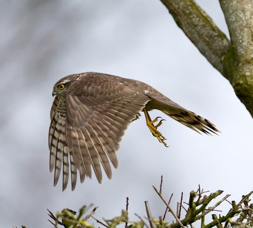 Sparrowhawk (female) | by wattysphotos