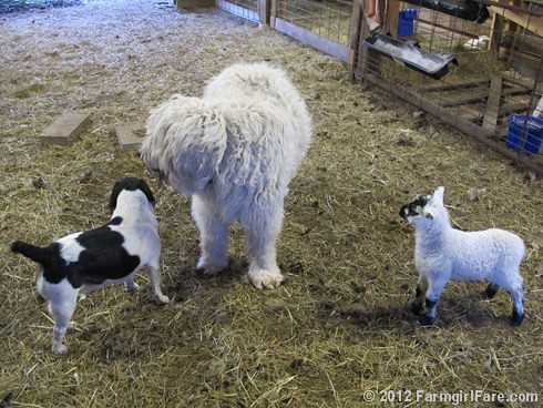 Farm dogs and little lambs 7 - FarmgirlFare.com | by Farmgirl Susan