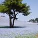 2012G.W. flower tour Nemophila 04