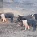Makin' bacon at a friend's farm 3 - FarmgirlFare.com