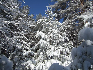 Conifers in Snow | by On Being