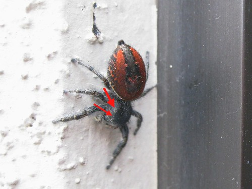 Red Jumping Spider 5 (annotated) | by oskay