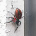 Red Jumping Spider 5 (annotated)