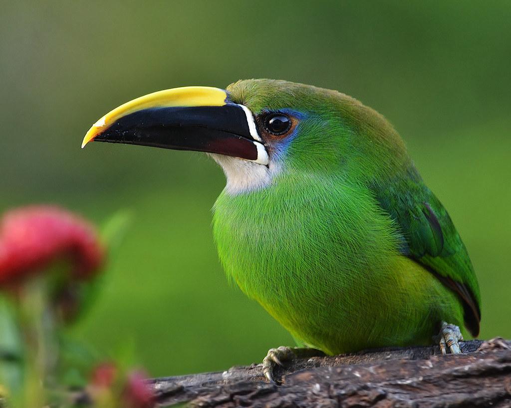 Emerald Toucanet Aulacorhynchus Prasinus The Emerald