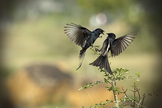 ♥ The Drongo Love ♥ Happy Valentine's Day ♥ | by VinothChandar