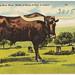 A Texas Long Horn Steer, width of horns 9 feet, 6 inches