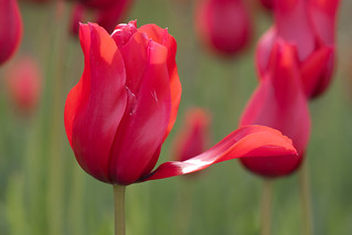 Tulip | by Brooklyn Botanic Garden