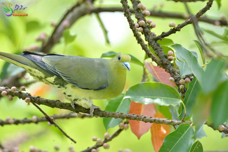 Japanese_Green_Pigeon_8705