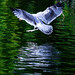 Gull in the Green