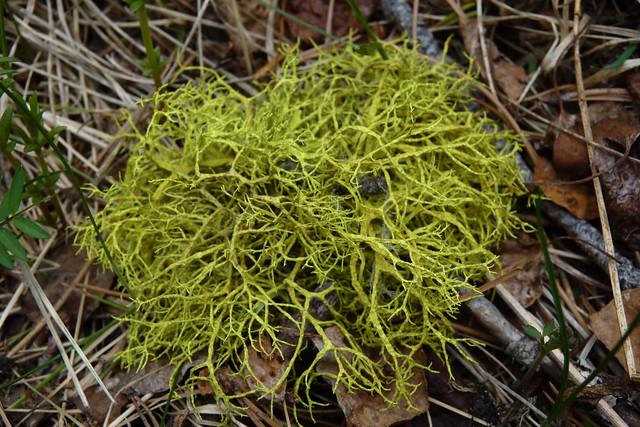 fruticose lichen | Flickr - Photo Sharing!