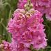Antirrhinum majus 'Double Azalea Pink' happiness