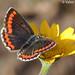 Southern Brown Argus (Aricia cramera)