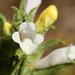 Cleónia (Cleonia lusitanica)