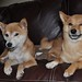 skeptical shiba siblings (kiyomi & taro)