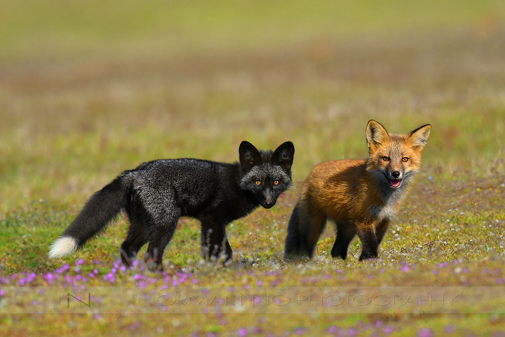 Silver fox kit - photo#33