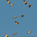Flocking Waxwings