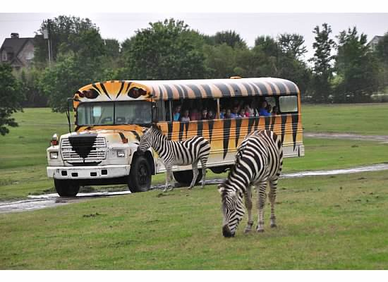zebras & tiger safari bus 6617 | what a funny ...