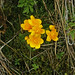 Catha palustris/populage des marais/renonculacées
