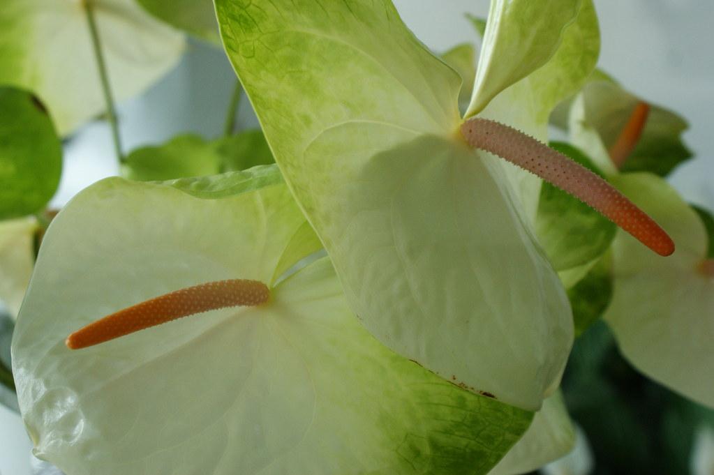 Anthurium large flowerd hybrids 1 karl gercens flickr - Anthurium turenza ...