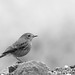 Pied Bushchat in monochrome...