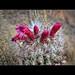 Flowering Cactus (Bolivia)