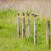 Redshanks (Tringa totanus)