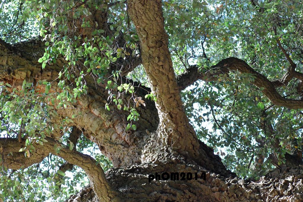 Quercia da sughero giradino del lago villa borghese flickr - Sughero pianta da giardino ...