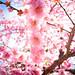 ume '12 - plum blossoms #6 (Jyounangu shrine, Kyoto)