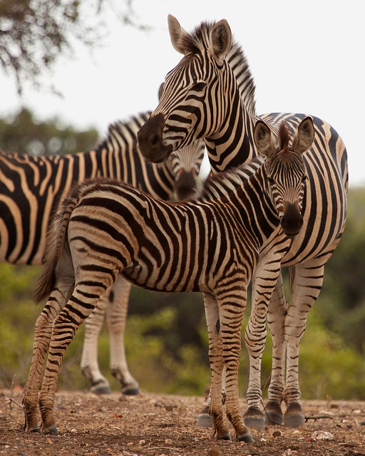 zebra young and adult | Flickr - Photo Sharing!