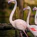 Flamingoes in dark waters