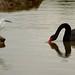 Egret swan face-off