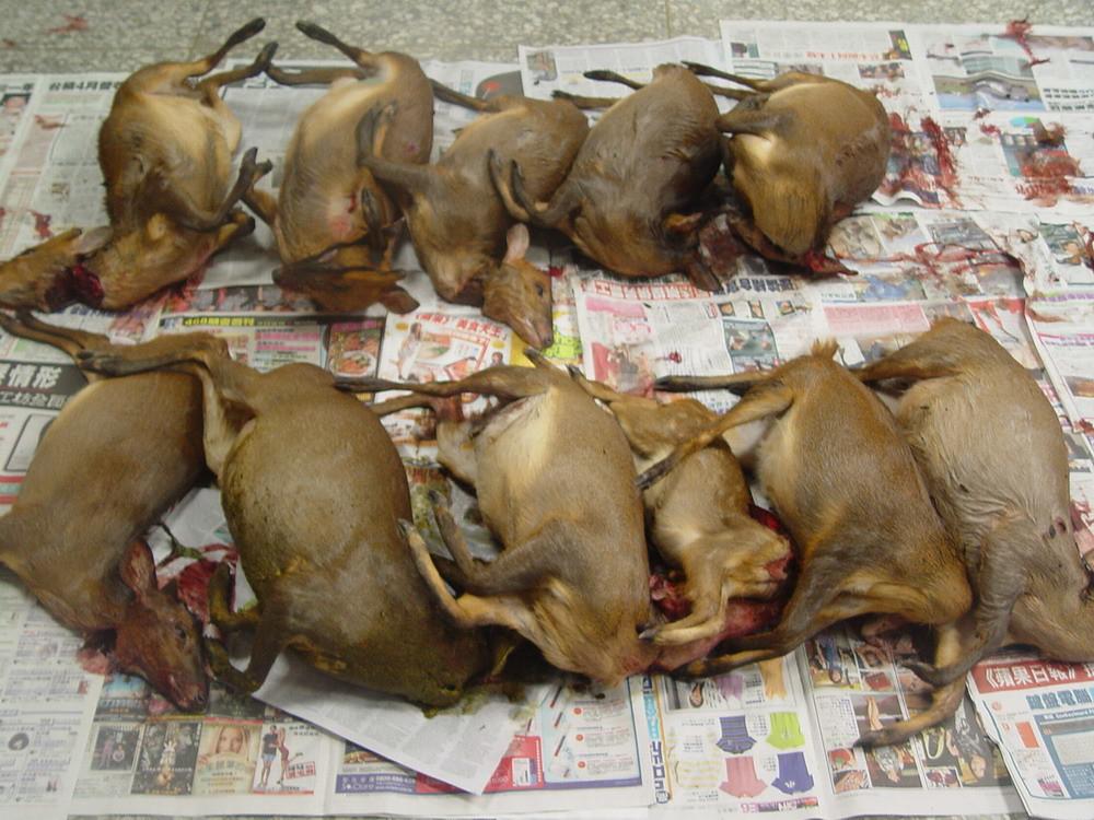 99年5月15日台東林管處在金峰鄉林班地查獲違法盜獵保育類動物山羌11隻及白鼻心、赤面鼯鼠等。(台東林管處新聞照片)