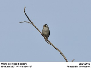 White-crowned Sparrow | by Bill.Thompson