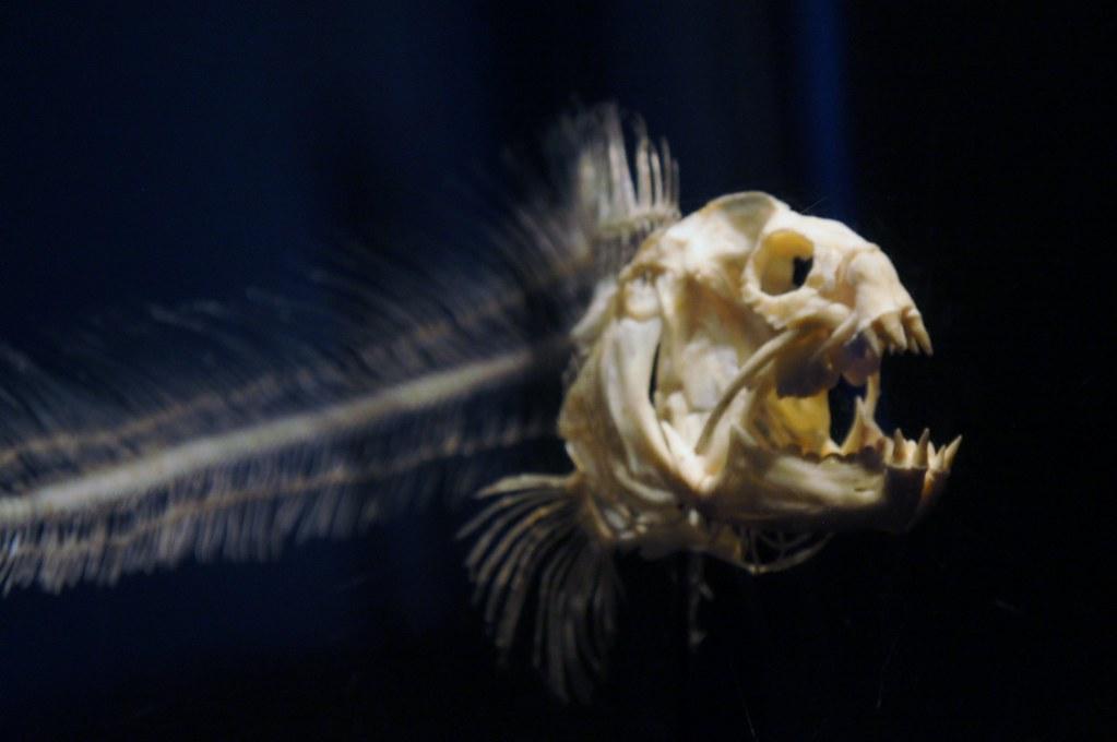 Electric Eel Skeleton