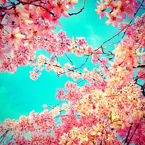 Cherry Blossoms | by jules1836
