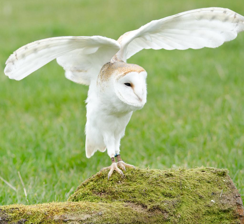 Barn Owl Barn Owl Of Trewitley Owl Trust Darrelbirkett