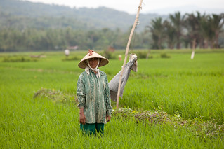 Healthy rice field, Bireuen, Indonesia. Photo by Mike Lusmore/Duckrabbit, 2012 | by WorldFish