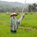 Healthy rice field, Bireuen, Indonesia. Photo by Mike Lusmore/Duckrabbit, 2012