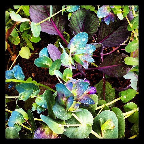 Cerinthe and purple cabbage in the garden: one of my favorite combinations | by Lelonopo